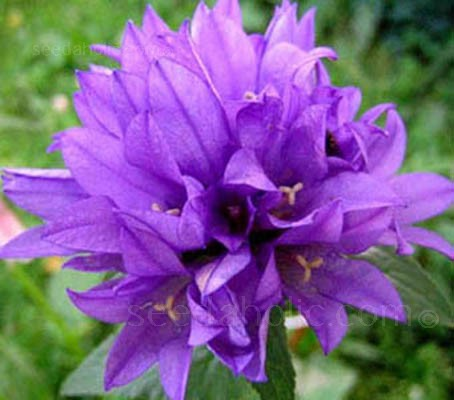 Campanula glomerata 'Superba' produces spectacular heads of rich purple-violet bell flowers.