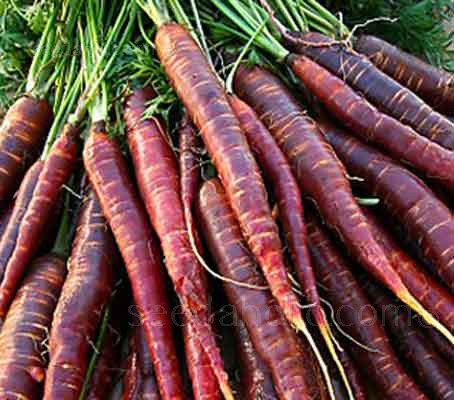 Cosmic Purple has quickly established itself as a carrot variety that is going to continue to be very popular in years to come.