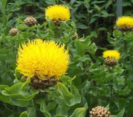 Golden-yellow shaggy thistle-like blooms on strong stems are followed by attractive seed heads.