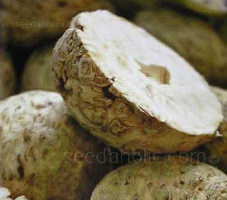 Celeriac 'Prinz' is a high quality celeriac. A robust variety that is very trouble-free to grow.