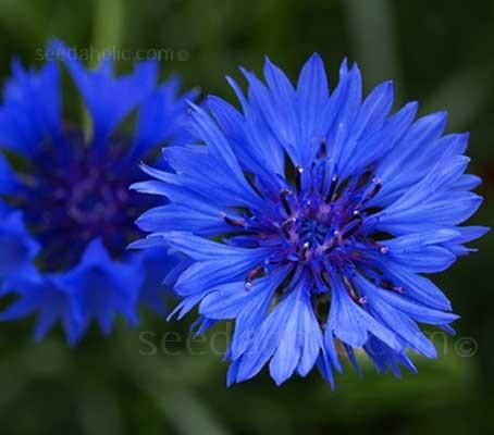 "Centaurea cyanus ""Blue Boy"" is a very fine, old variety."