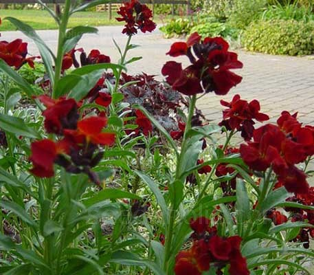 Blood Red' is a favourite with gardeners, the astonishing deep crimson, velvety red flowers they are sure to be a focal point.