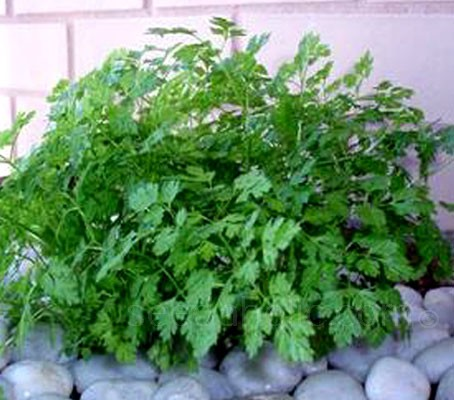 """Massa"" is a dark green Chervil selection with smooth leaves and good plant vigour."