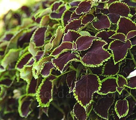 The prettiest and neatest Coleus to come along in quite a while, 'Chocolate Mint' offers rich cocoa coloured foliage with a trim mint-green scalloped edge