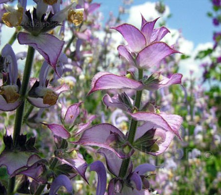 A truly architectural plant with branched stems, each stem is topped with a profusion of pale blue blossoms and large pinkish white bracts,
