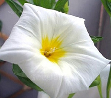 "Convolvulus tricolour ""Royal Ensign"" White (Collection)"