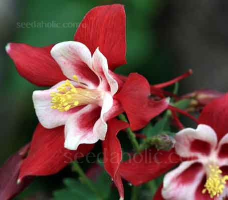 Aquilegia x hybrida, 'Red Star'