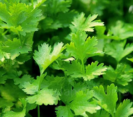Coriander Santo is probably the best variety of coriander for leaf production as the plant combines very slow bolting with an upright habit and excellent flavour.