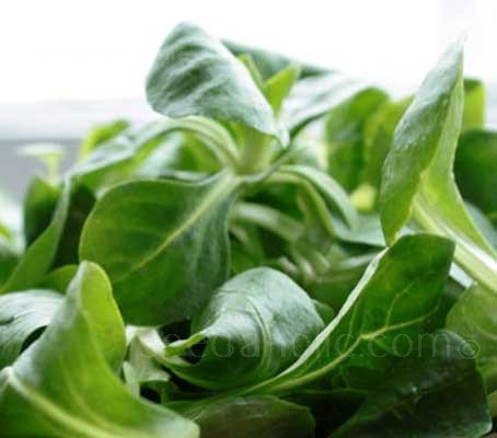 Vit is an easy to grow, vigorous variety for spring and autumn crops.