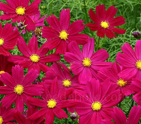 'Cosimo Purple-Red' blooms with beautiful rich, coloured flowers in deep purple red.