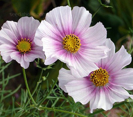 "Cosmos ""Daydream"" is a superb new colour, palest pink with a deep rose pink centre makes this a unique and delicate addition."
