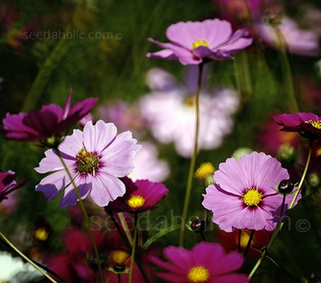 Cosmos bipinnatus 'Sensation Mix' (Collection)