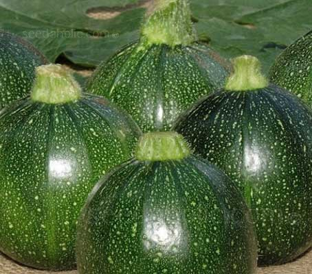 Courgette 'Tondo di Piacenza' produces spherical, dark green glossy fruits with a firm texture and good flavour.