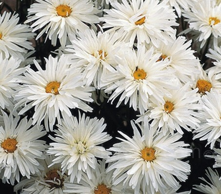 "Chrysanthemum x superbum ""Crazy Daisy"" is a new variety of the much-loved Shasta Daisy."
