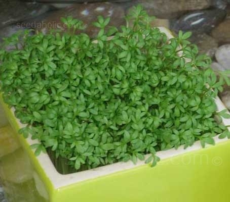 'Curled Leaf' Cress has all the attributes of the plain leaf variety but with more serrated leaf pattern and a slightly more delicate flavour.