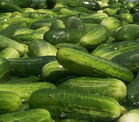 The original Marketmore was released in 1968, it is now firmly established as one of the 'Greats' in the cucumber world.