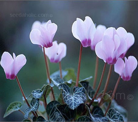 Cyclamen hederifolium (Collection)