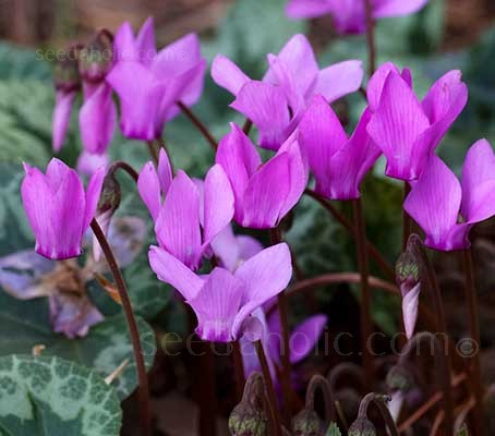 Cyclamen coum has some remarkable qualities which make it well-adored as a cultivated ornamental plant.