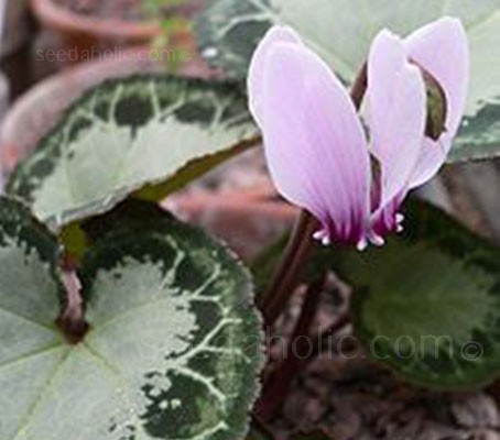 Cyclamen graecum are appreciated for their wonderful rosettes of superbly marbled leaves. The markings of which are infinitely variable.