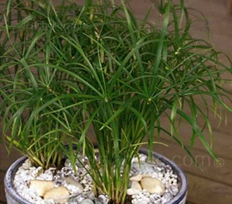 The Umbrella Plant is a very popular house plant and commonly grown as a marginal pond plant.