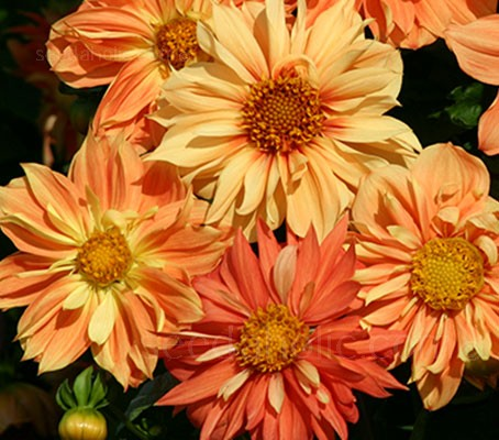 Dahlia 'Sunny Reggae' blooms in various shades of orange, scarlet, peach and pale yellow bicolours