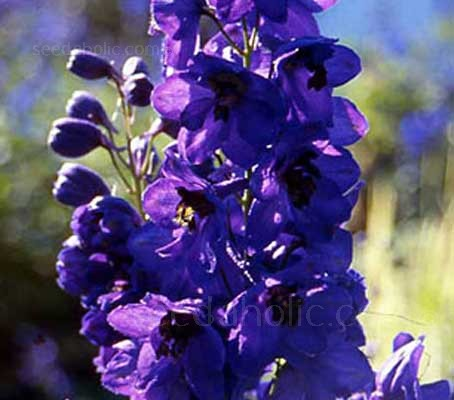 Black Knight feature gorgeous tall spires of deep purple blooms, each with a black 'bee'.