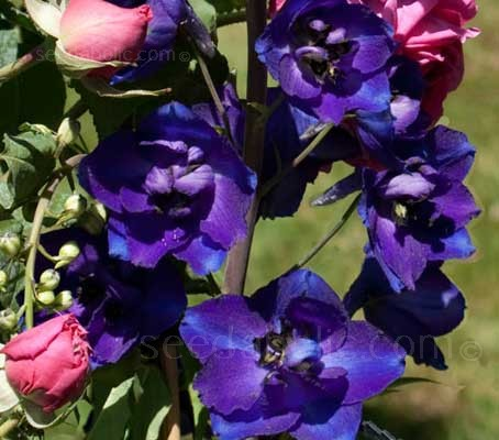 "Delphinium Belladonna ""Bellamosum Dark Blue"" has beautiful single, dark violet-blue flowers"