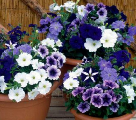Petunia Deluxe is superior for bedding plant purposes to any other F2 multiflora mixture available.