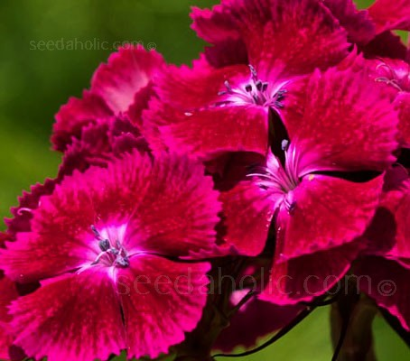 Dianthus barbatus 'Oeschberg' is an exceptional variety with attractive bronze foliage and deep purple-violet flowers.