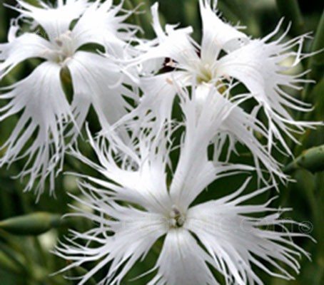 Pure white, fragrant flowers with delicately fringed edges are held above compact symmetrical domes, tight little clumps that rock gardeners call buns.