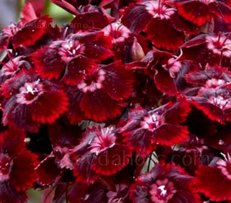 Dianthus barbatus atrosanguineous have large clusters of single, blood red flowers.