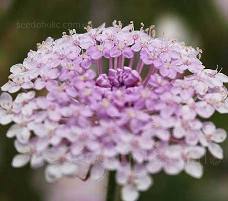 Didiscus caerulea 'Pink Lace Flower' is the pink form of this delicate flower, often marketed as 'Lacy Pink'