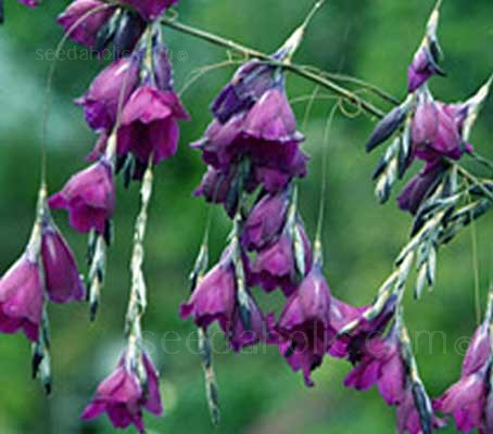 "Dierama ""Blackberry Bells"" is a vigorous hybrid Dierama. It has inheriting some of the darkness from 'Cosmos' but with much larger, deep purple-maroon flared trumpets."
