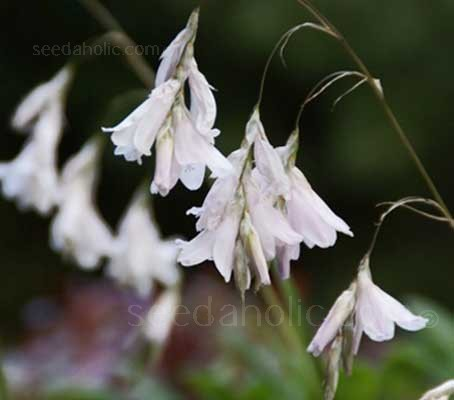 Dierama pulcherrimum is a distinctive-looking perennial with tall arching stems of bell-shaped, flowers.
