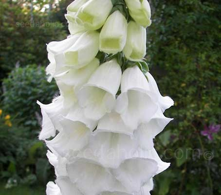 One of the most elegant dwarf Foxgloves, Digitalis 'Snow Thimble' is easy to place in the garden border
