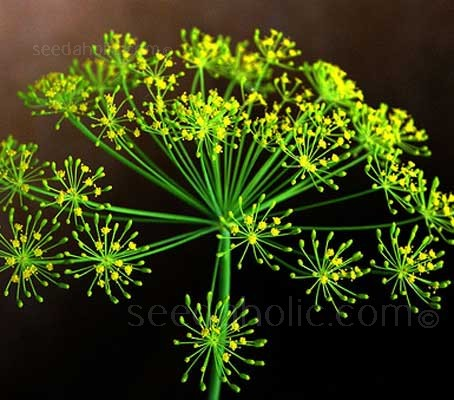 Dill Bouquets sports large seedheads and dark blue-green foliage, it is the best cultivar for seed production.
