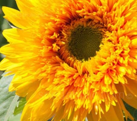 This professional quality sunflower grows 90 to 120cm (36 to 48in) tall.