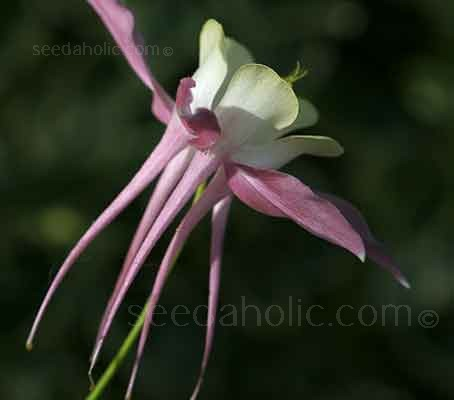 Aquilegia x hybrida 'Mckana Giants Mix'