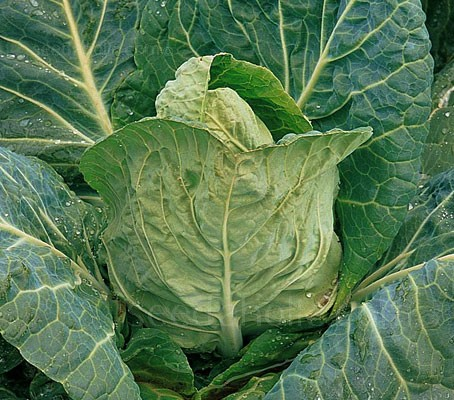 "Cabbage ""Durham Early"" is probably one of the most well known and reliable spring cabbages"