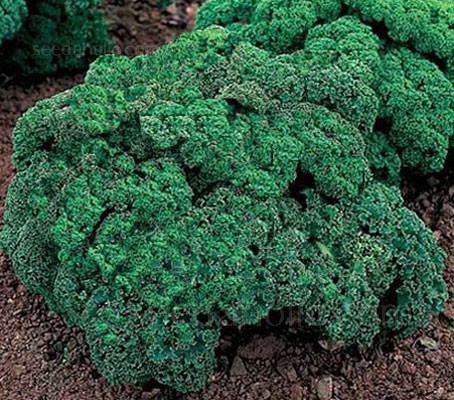 'Dwarf Green Curled' kale produces an abundance of tender, densely curled green leaves which can be harvested throughout the winter months.