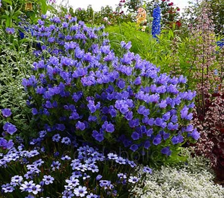 In summer Echium plantagineum bears the most beautiful dense spikes of exquisite, violet-blue flowers.