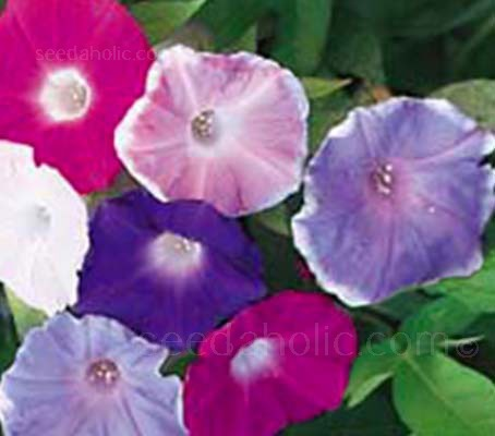 Ipomoea nil 'Early Call Mixed' produces large, ruffled blooms in a wide range of rich colours