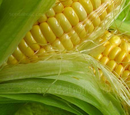 Sweetcorn 'Earligold F1' is an early variety, cropping in around 10 to 12 weeks, producing 1 to 2 cobs per plant.
