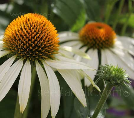 Echinacea purpurea 'White Swan' is a particularly striking dancer in the garden ballet.