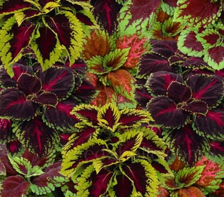 Coleus 'Kong Empire' is a mix from the Kong series.