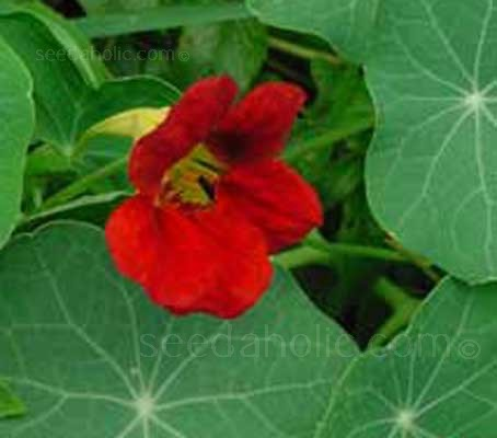 "Nasturtium ""Empress of India"" is a classic Victorian heritage variety with opulent, velvet crimson-scarlet flowers and impressive dark blue-green foliage."