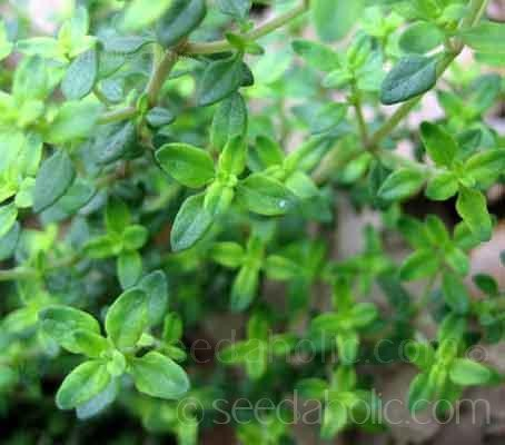 Thyme. English Winter. (Collection)