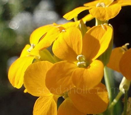 Erysimum 'Golden Shot' is a perennial cultivar of our familiar wallflower