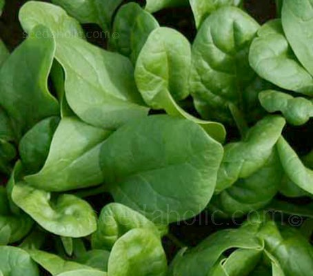 Spinach 'F1 Amazon' is ideal for harvesting as baby leaves or growing on as mature plants.