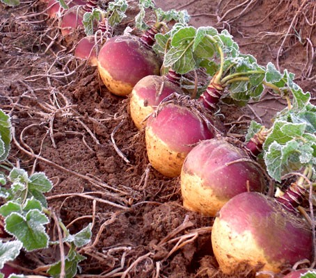 F1 Swede 'F1 Tweed' has been bred for its uniform, globe shaped roots and vigorous growth